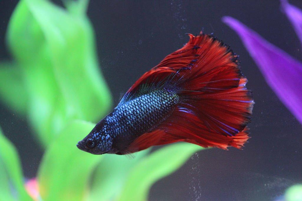 betta fish image