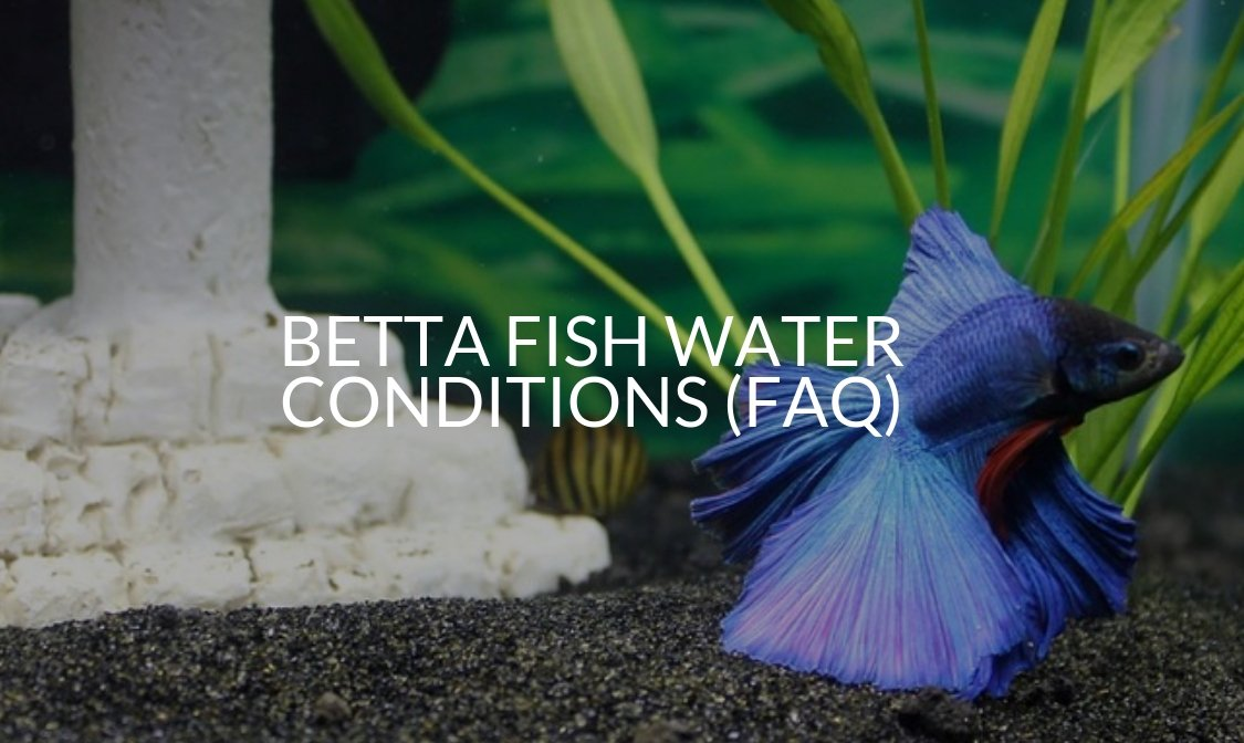 Betta Fish Water Conditions (FAQ)