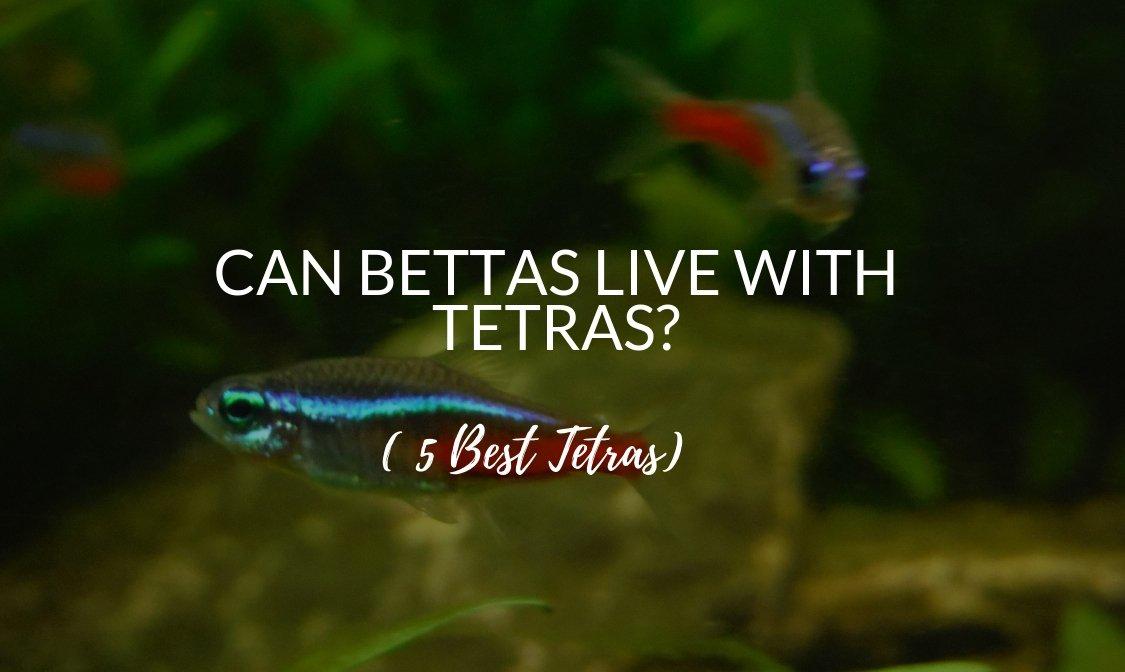 Can Bettas Live With Tetras? – 5 Best Tetras