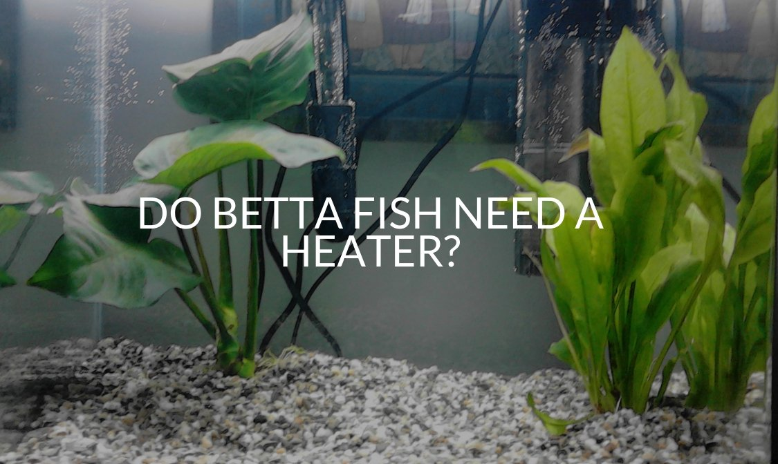 Do Betta Fish Need A Heater?