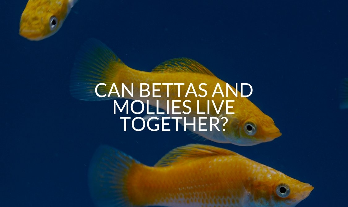 Can Bettas And Mollies Live Together_