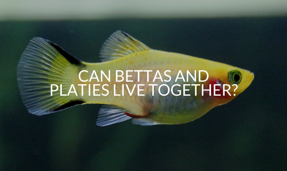 Can Bettas And Platies Live Together_