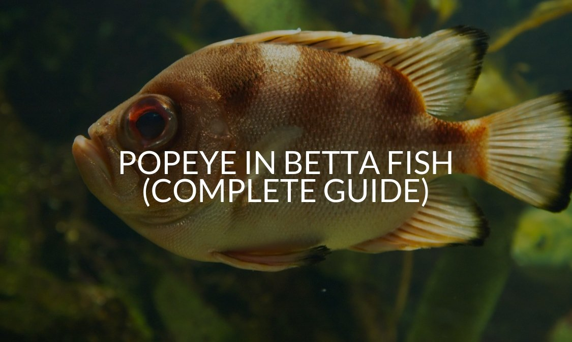 Popeye In Betta Fish (Complete Guide)