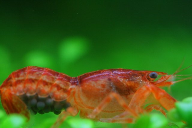 Dwarf Crayfish 1