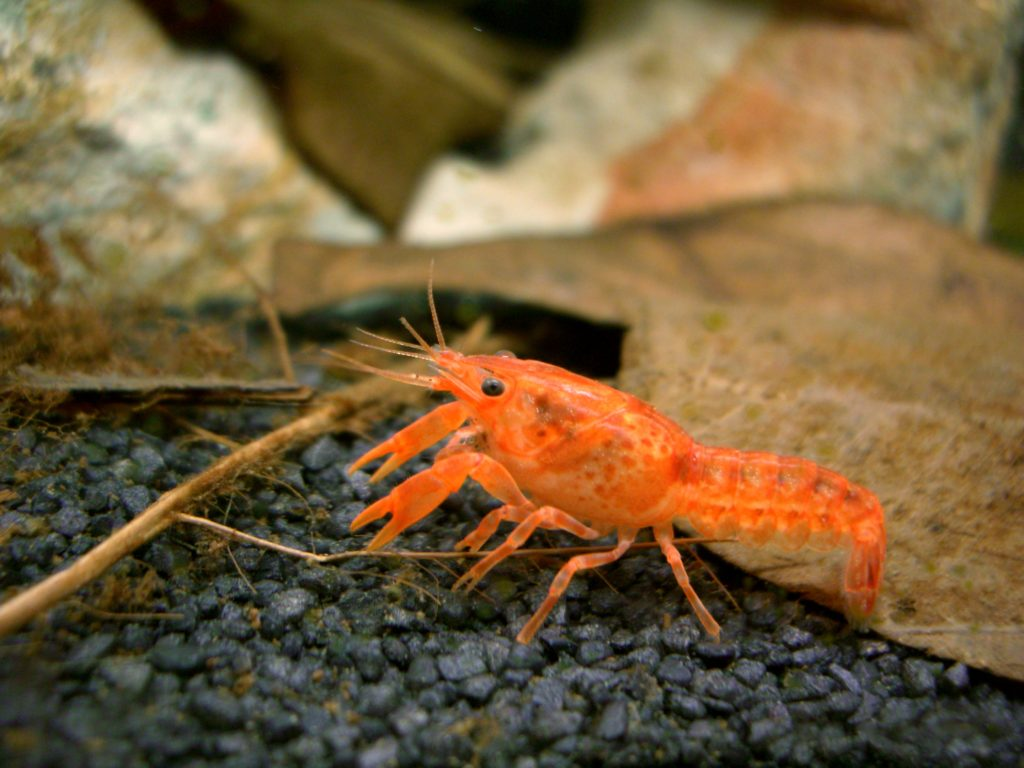 Dwarf Crayfish 2