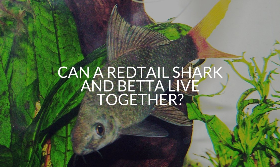 Can A Redtail Shark And Betta Live Together_