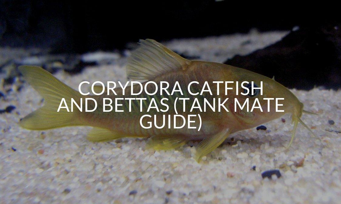 Corydora Catfish And Bettas (Tank Mate Guide)