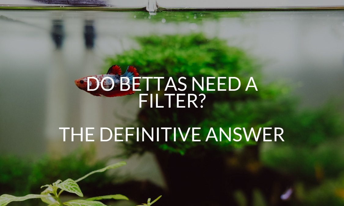 Do Bettas Need A Filter_ The Definitive Answer