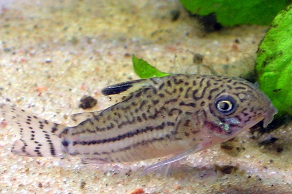 Corydora Catfish 3