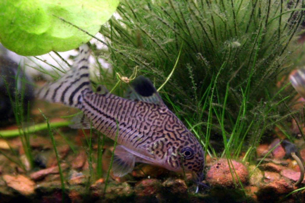 Corydora Catfish 2