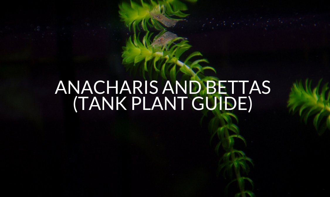 Anacharis And Bettas (Tank Plant Guide) (1)