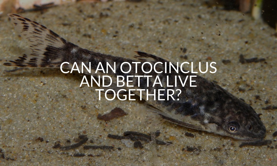 Can An Otocinclus And Betta Live Together_