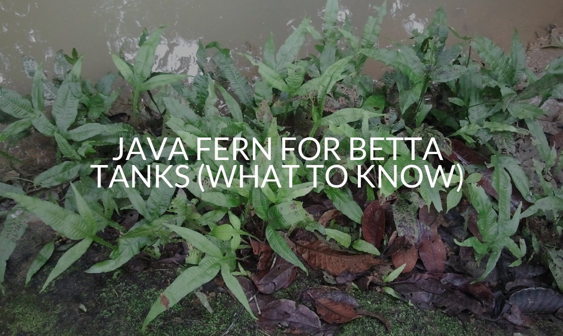 Java Fern For Betta Tanks (What To Know)