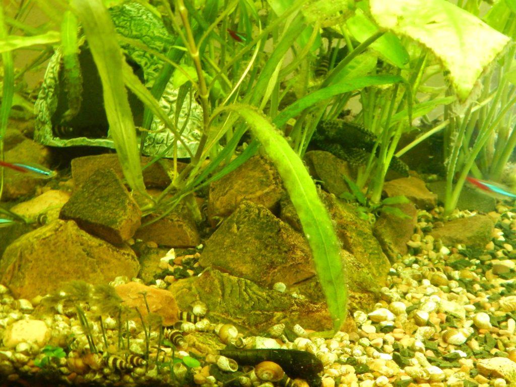 green algae 1