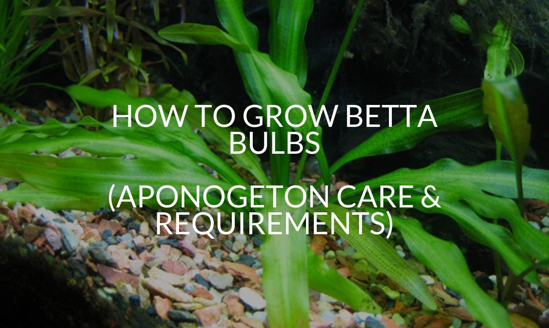 How To Grow Betta Bulbs (Aponogeton Care & Requirements)