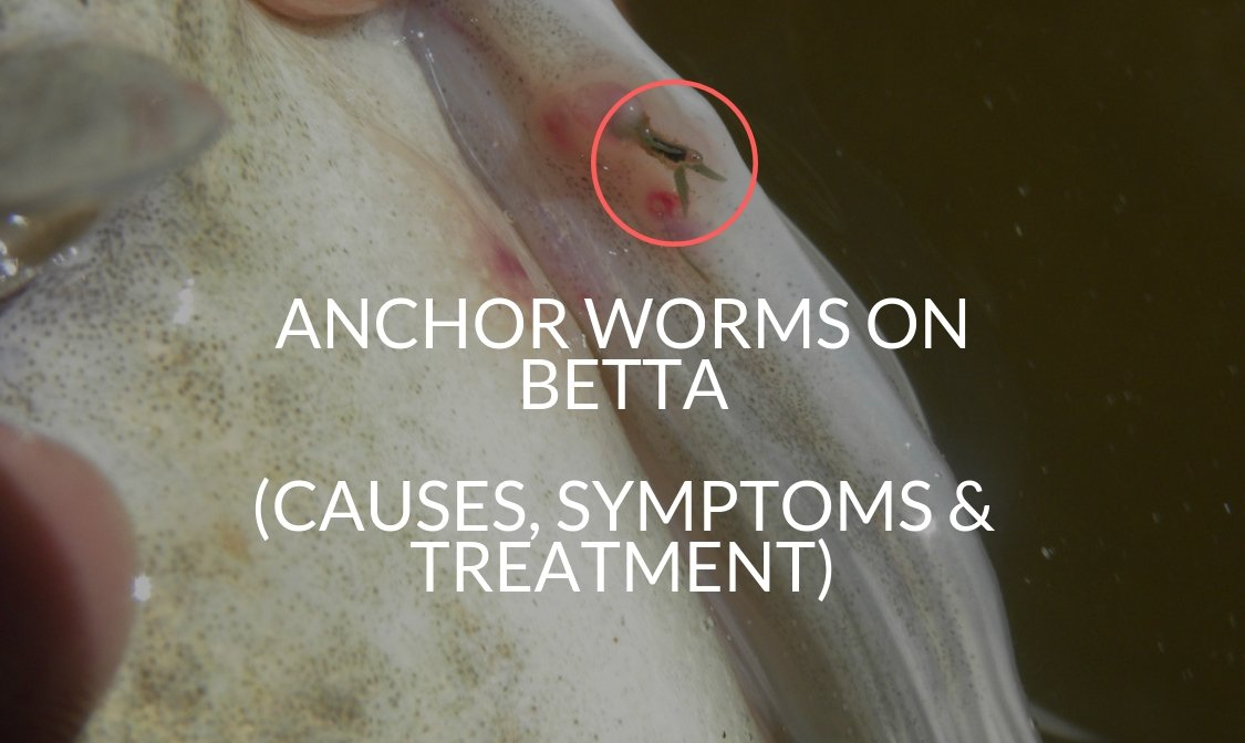 Anchor Worms On Betta (Causes, Symptoms & Treatment)