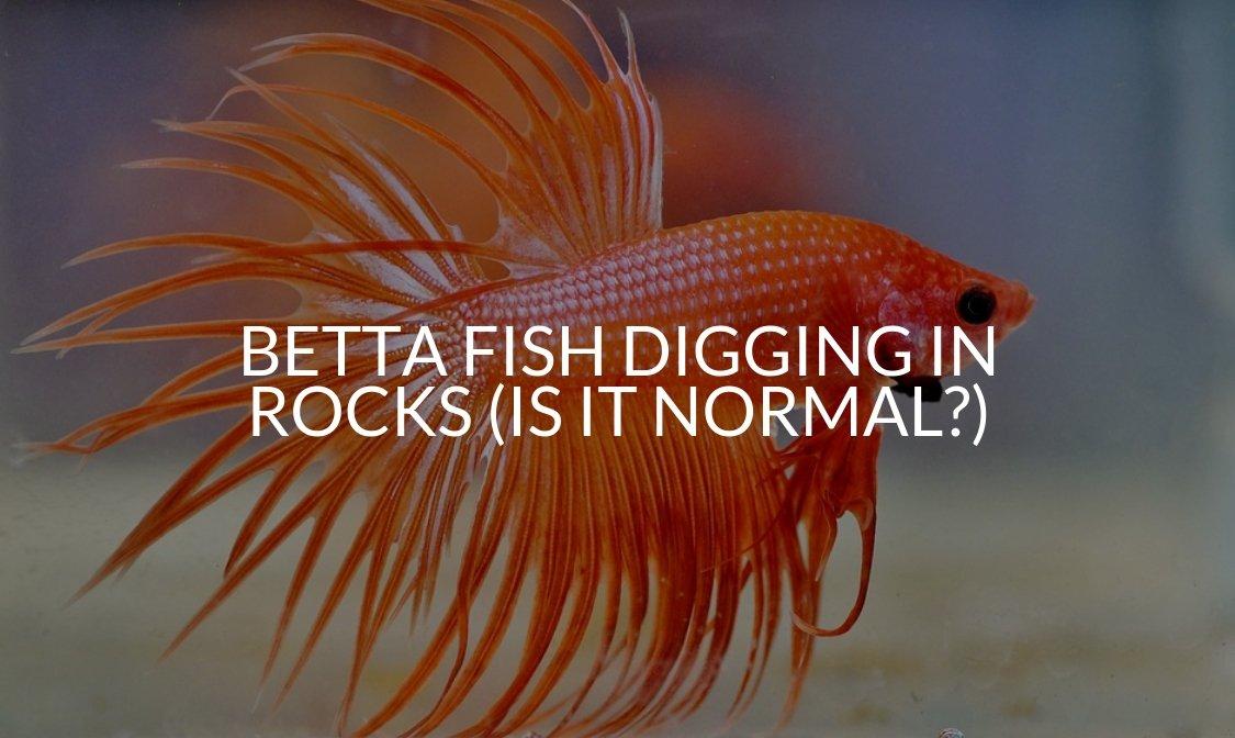 Betta Fish Digging In Rocks (Is It Normal)