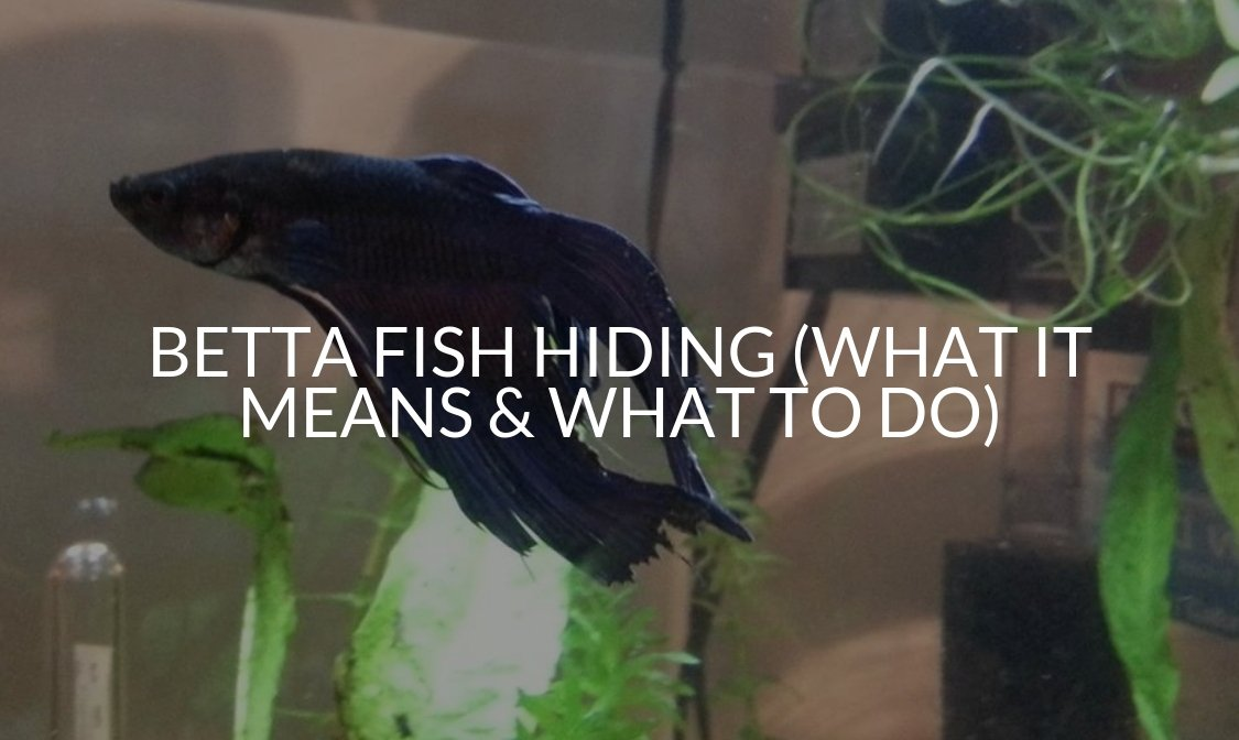 Betta Fish Hiding (What It Means & What To Do)