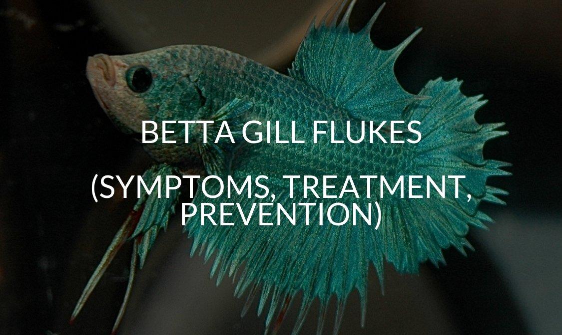 Betta Gill Flukes (Symptoms, Treatment, Prevention)