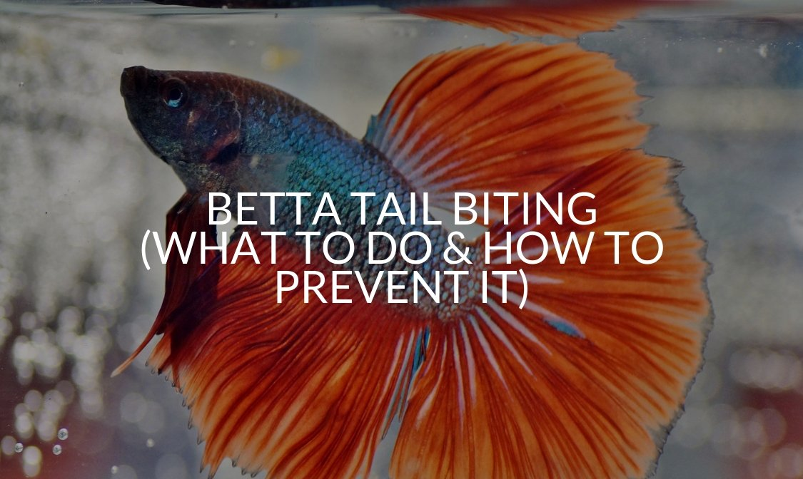 Betta Tail Biting (What To Do & How To Prevent It)