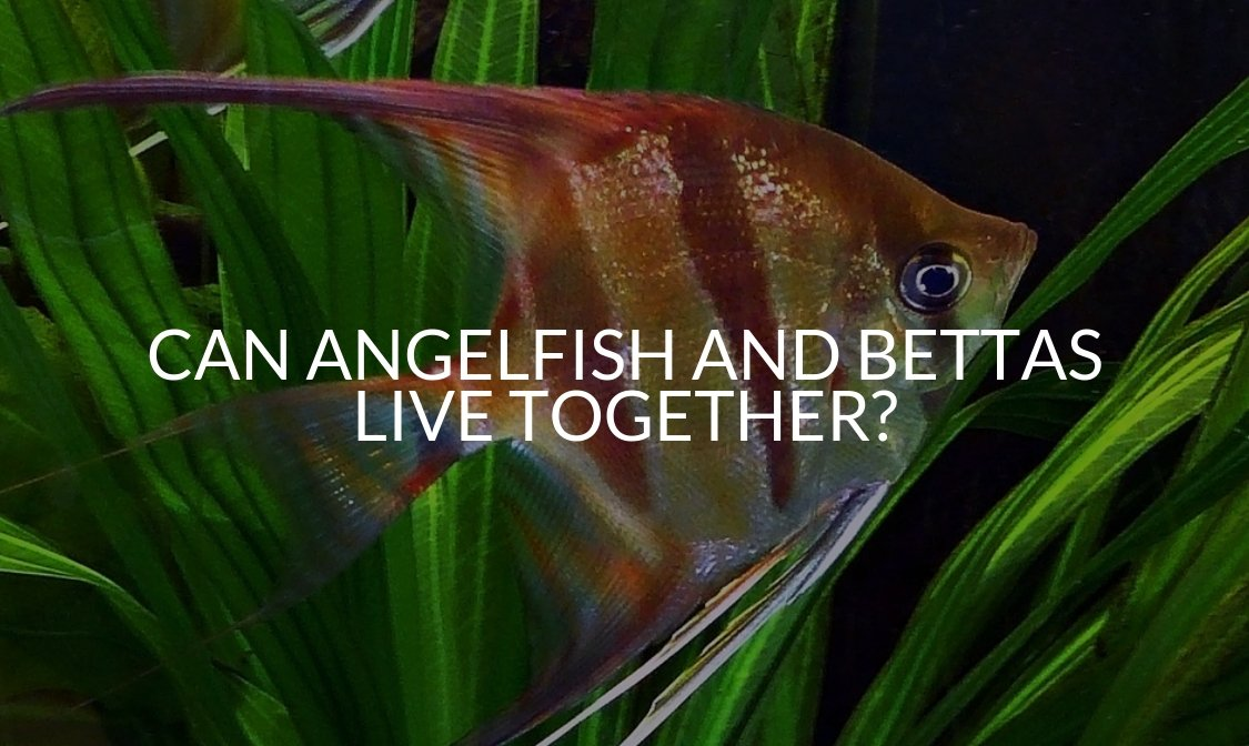 Can Angelfish And Bettas Live Together_