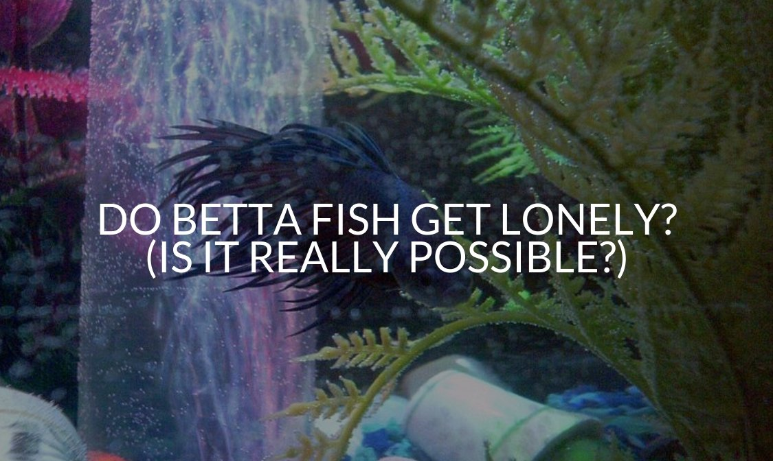 Do Betta Fish Get Lonely_ (Is It Really Possible_)
