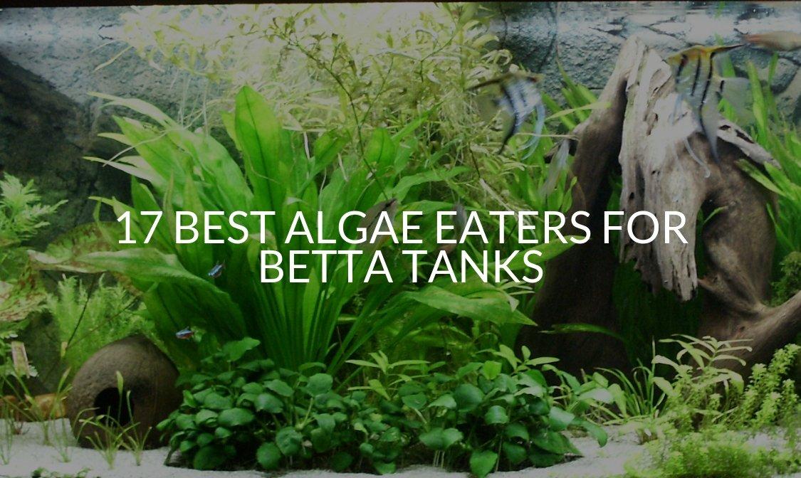 17 Best Algae Eaters For Betta Tanks