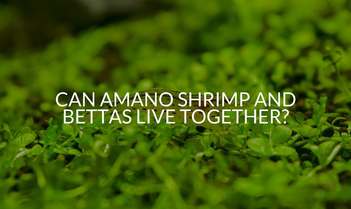 Can Amano Shrimp And Bettas Live Together_