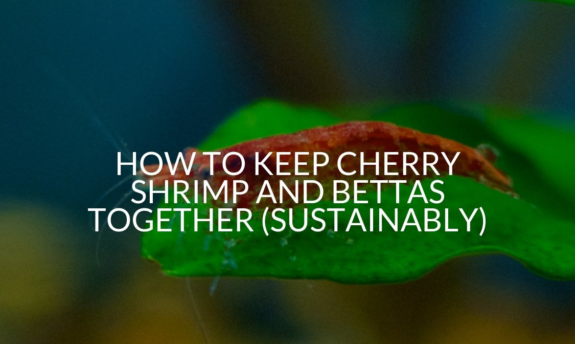 How To Keep Cherry Shrimp And Bettas Together (Sustainably)